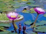 Water Lilies with Blooms  Caribbean