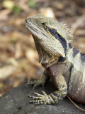 Eastern Water Dragon  Australia