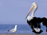 Australian Pelican and Gull on Beach  Shark Bay Marine Park  Australia