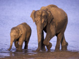 Asian Elephant Family  Nagarhole National Park  India