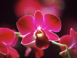 Orchid  Malaysia