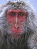Snow Monkey  Japanese Macaque  Nagano  Japan