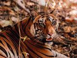 Bengal Tiger in Bandhavgarh National Park  India