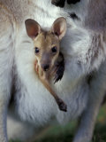 Red-necked Wallaby Joey in Pouch  Bunya Mountain National Park  Australia