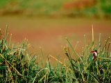 White-throat King Fisher in Bharatpur National Park  India