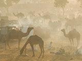 Camels in the Desert Morning Sun  Pushkar Camel Fair  India