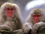Snow Monkey Couple  Japanese Macaque  Nagano  Japan