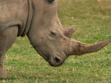 White Rhinoceros  Australia