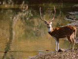 Chital at Water&#39;s Edge in Bandhavgarh National Park  India