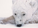 Polar Bear on Hudson Bay  Churchill  Manitoba