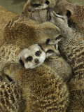Meerkat Protecting Young  Australia