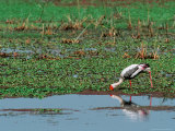 Painted Stork in Bandhavgarh National Park  India