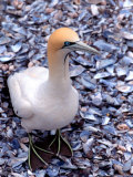 Cape Gannet on the Coast  South Africa