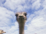 Portrait of an Ostrich  South Africa