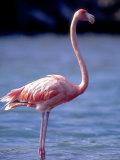 Pink Flamingo on Lake Goto Meer  Bonaire  Caribbean