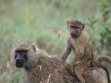 Mother and Young Olive Baboon  Tanzania