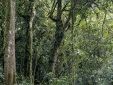 Lush Rainforest Foliage  Uganda