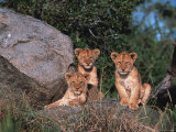Den of Lion Cubs  Serengeti  Tanzania