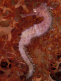 Thorny Seahorse on Soft Coral  Indonesia