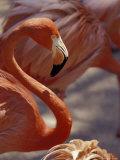 Adastra Gardens  Pink Flamingo  Nassau  Bahamas  Caribbean