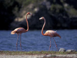 Pink Flamingos on Lake Goto Meer  Bonaire  Caribbean
