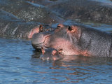 Mother and Young Hippopotamus  Serengeti  Tanzania