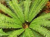 Crown Fern  Catlins  South Island  New Zealand