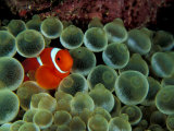 Spinecheek Anemonefish  Papua New Guinea
