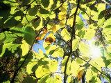Leaves and Large Seeds  Jasmund National Park  Island of Ruegen  Germany