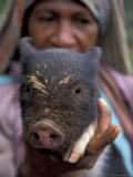 Huli Woman Holding a Pig  Tari  Papua New Guinea  Oceania