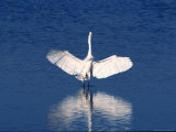 Great Egret Standing in Water with Wings Spread