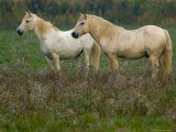White Wild Horses  Camargue  France