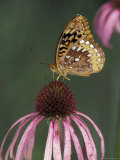 Great Spangled Fritillary on Pale Purple Coneflower