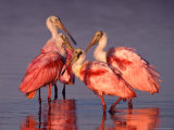 Four Roseate Spoonbills at Dawn