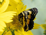 Border Patch Butterfly on Cowpen Daisy