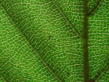 Close-up of Green Leaf  Jasmund National Park  Island of Ruegen  Germany