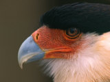 Crested or Northern Caracara