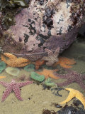 Giant Green Anemones and Ochre Sea Stars  Cape Kiwanda State Park  Oregon  USA