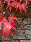Red Ivy Growing on Stone Wall  Burgundy  France