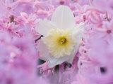 Jonquil Among Hyacinth Flowers  Indianapolis  Indiana