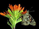 Painted Lady on Indian Paintbrush  Michigan  USA