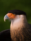 Crested Caracara
