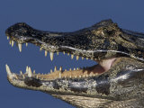 Close-up of Caiman Head and Mouth  Pantanal  Brazil
