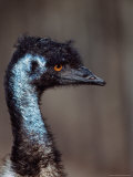 Emus  Flightless Bird Native to Australia