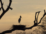 Jabiru on Nest at Dusk  Pantanal  Brazil