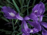 Wild Iris  Oregon Coast  USA