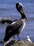 Peruvian Pelican  Coquimbo  Chile