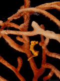 Pigmy Seahorse on Orgonian  Papua New Guinea