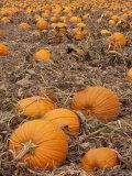 Pumpkins in Ready for Harvest  Shelbourne  Massachusetts  USA