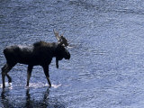 Moose Bull Crosses River